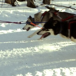 Tuesday Photo: Gichigami Sled Dog Race