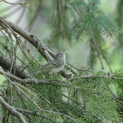 Tuesday Photo: Ruby-Crowned Kinglet