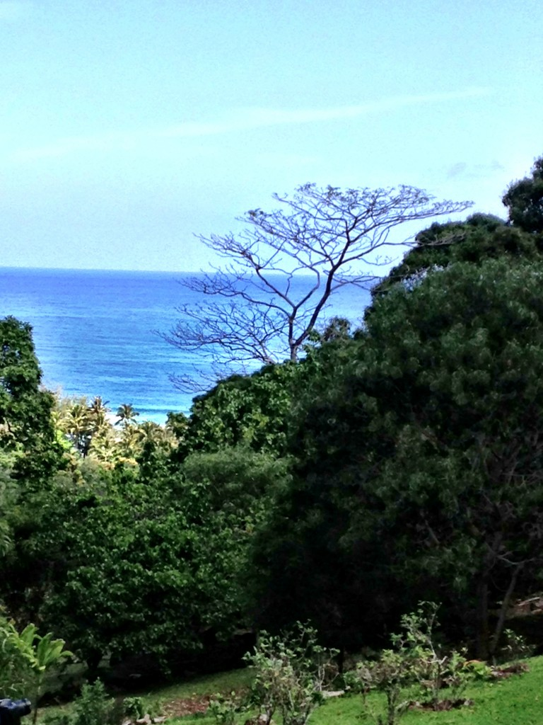 Acacia tree frames the ocean view from Limahuli Garden