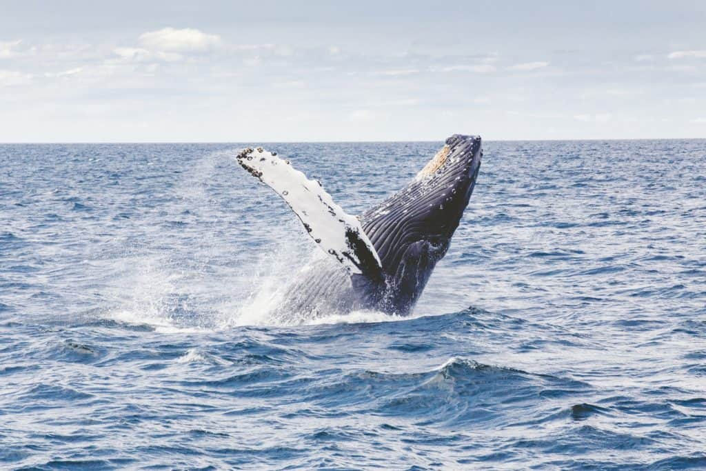 humpback whale watching - best day trip from vancouver bc