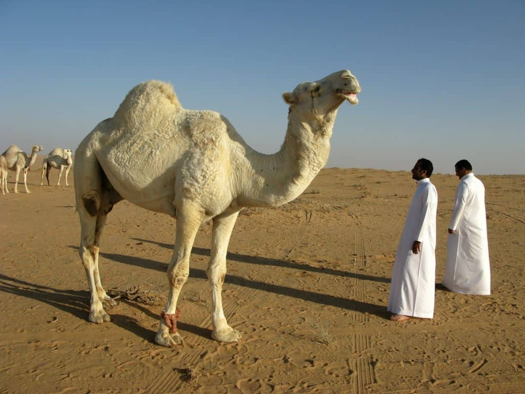 camel with two men in desert saudi arabia